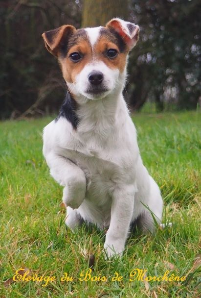 Oumpala - Jack Russell Terrier