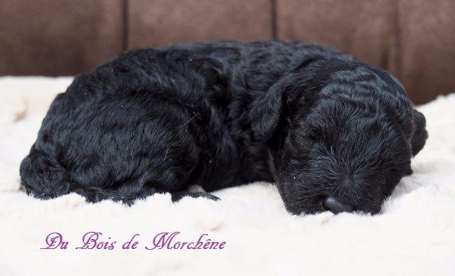 du bois de Morchène - Chiot disponible  - Caniche