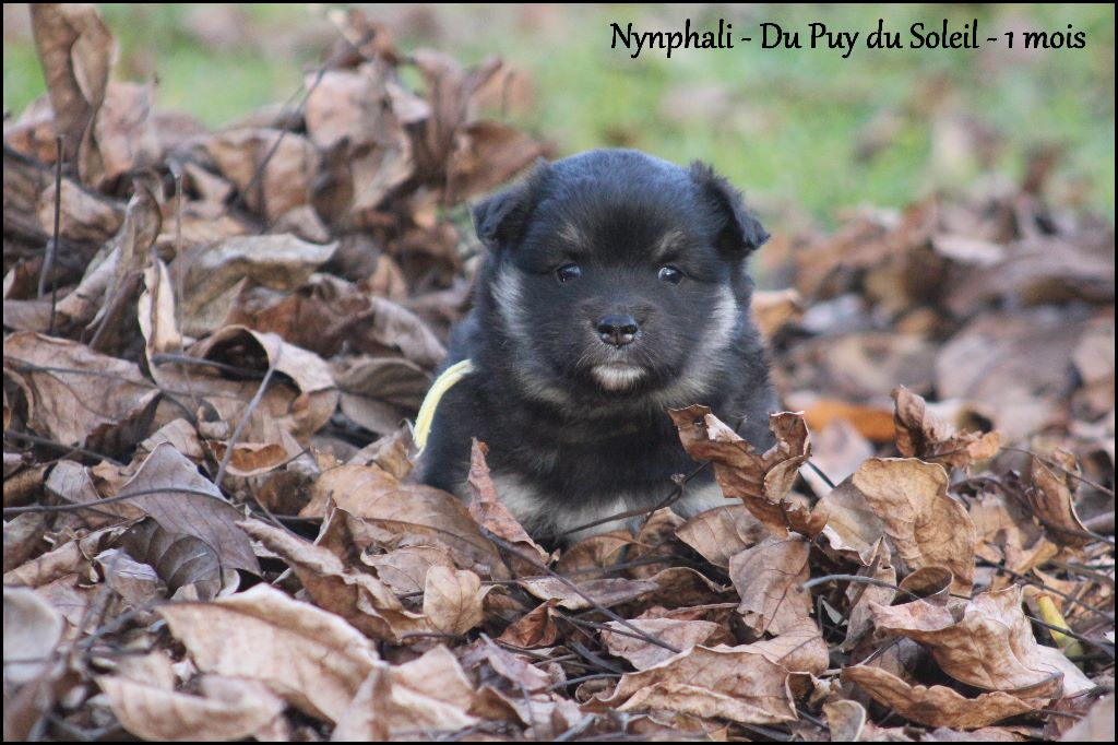 Nymphali - Chien finnois de Laponie