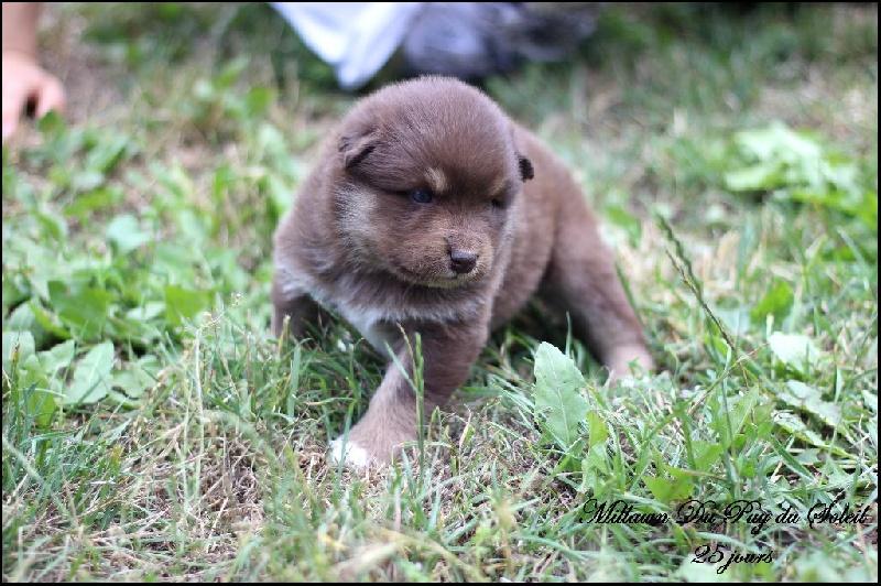 chiot chien finnois de laponie millawn m le disponible en auvergne rhone alpes 63 puy de. Black Bedroom Furniture Sets. Home Design Ideas