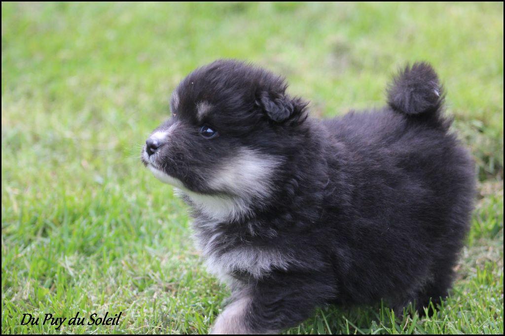 chiot chien finnois de laponie norjaan m le disponible en auvergne rhone alpes 63 puy de. Black Bedroom Furniture Sets. Home Design Ideas