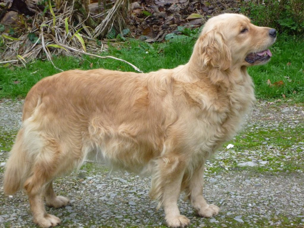 Galway girl des Berberis Golden Retriever