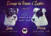 Parson Russell Terrier - Portée 20120 - du Haras d'Euphor