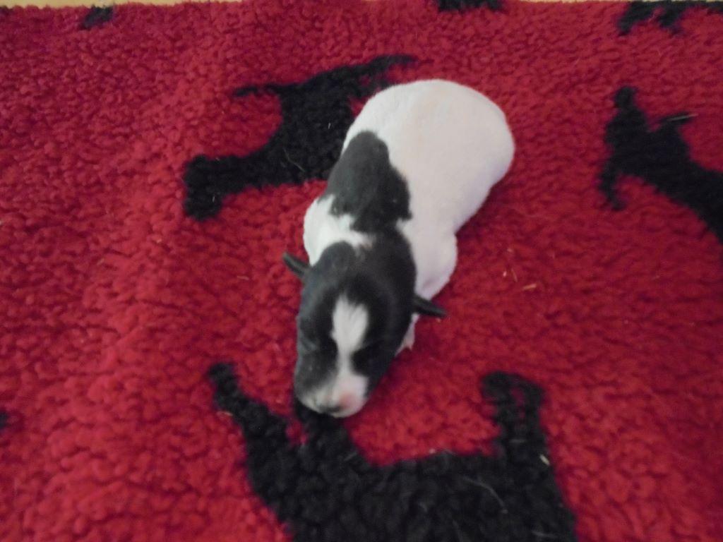 de la Treviniere - Chiot disponible  - Fox Terrier Poil lisse
