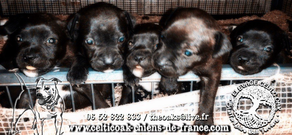 of Celtic Oak - Chiot disponible  - Staffordshire Bull Terrier