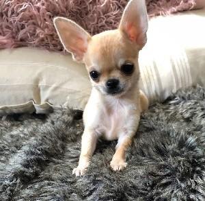 Chihuahua - Des lianes de mysore