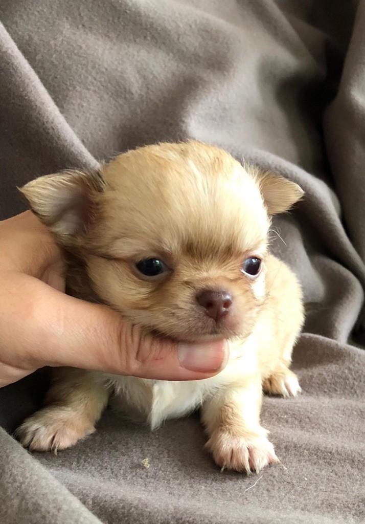 Des lianes de mysore - Chiot disponible  - Chihuahua