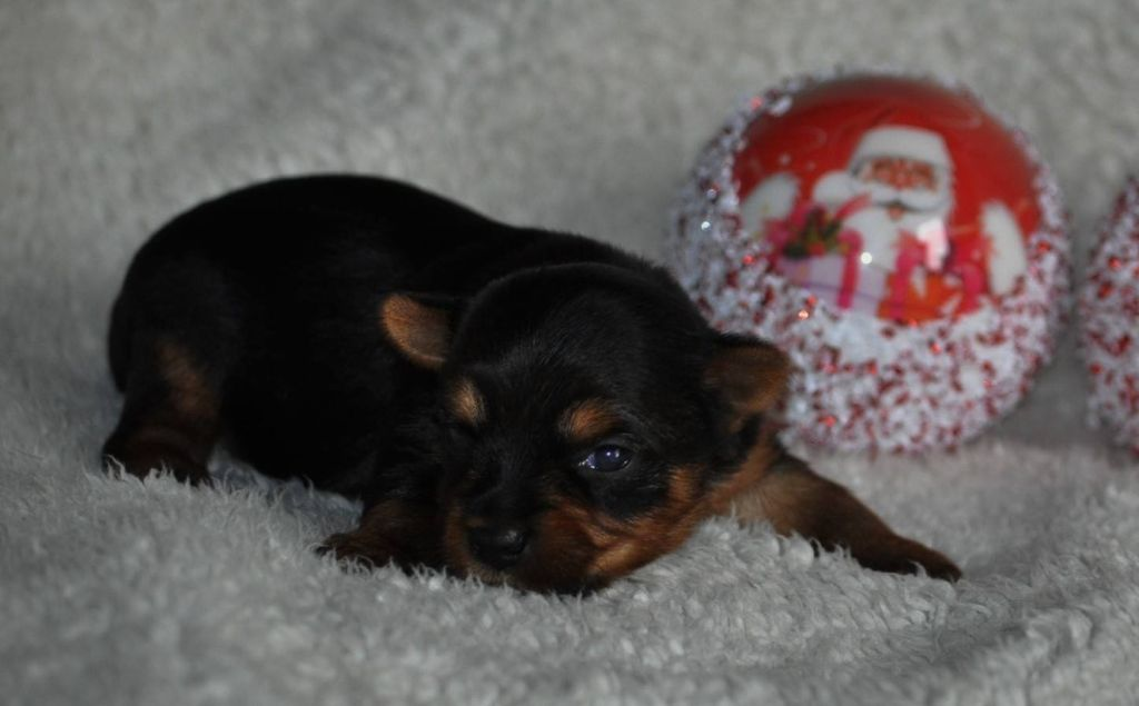 Happily's - Chiot disponible  - Yorkshire Terrier
