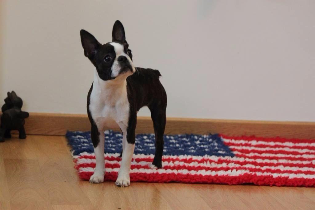 Dinner Jacket - Chiot disponible  - Boston Terrier