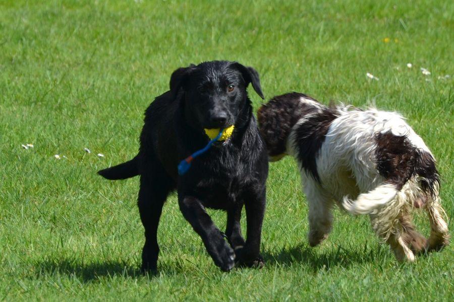 Sologne Hunters's Milady Labrador Retriever