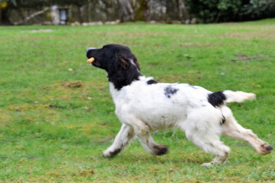 noir 2 NAPO - English Springer Spaniel