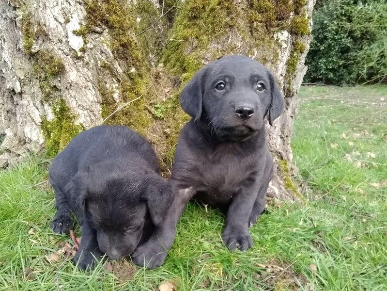Sologne Hunters's - Chiot disponible  - Labrador Retriever