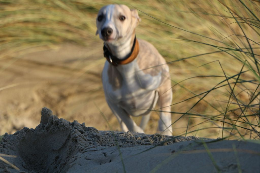 Pygargue (Py) - Whippet
