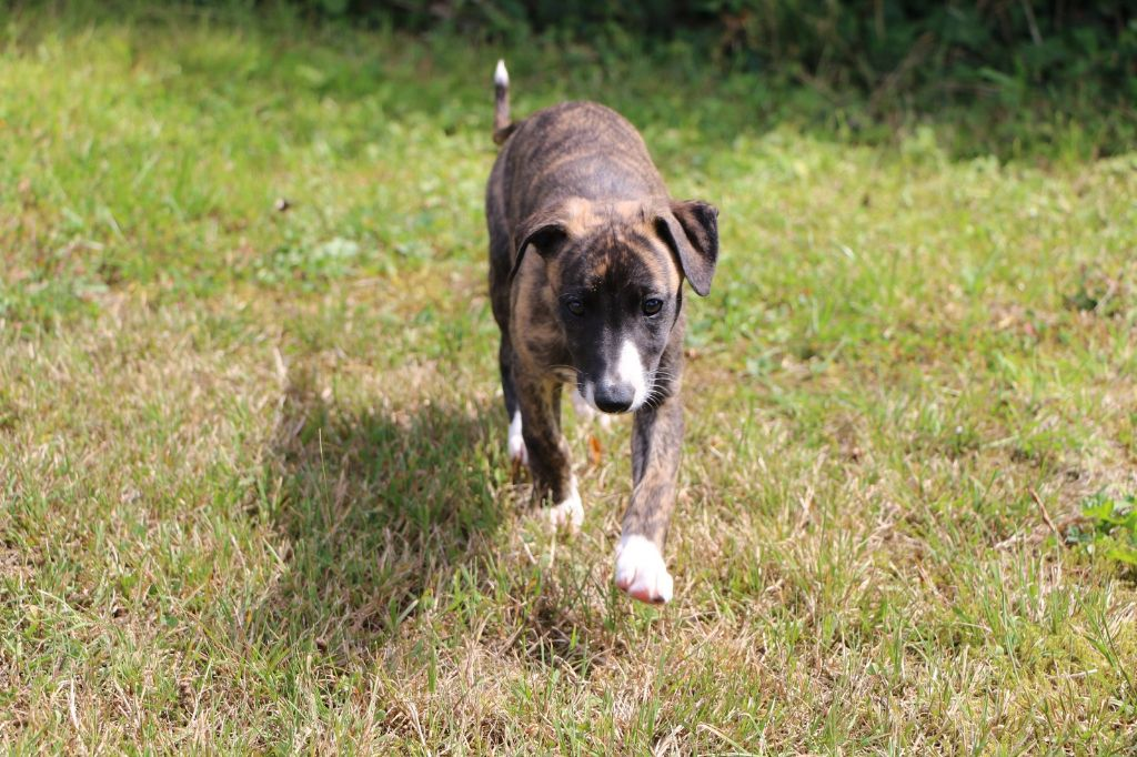 of Cyly of Course - Chiot disponible  - Whippet