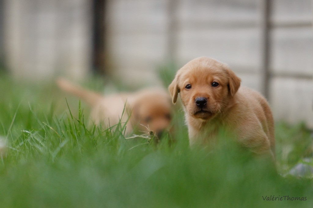 Masters of Water - Chiot disponible  - Labrador Retriever