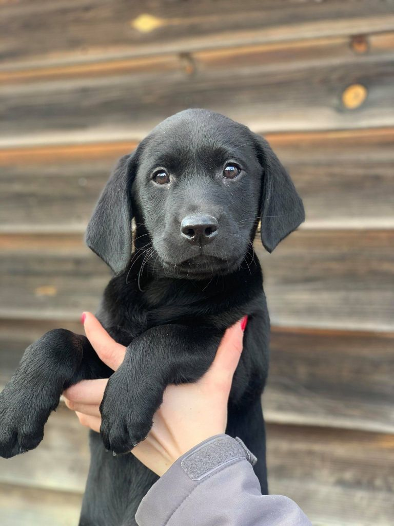 Masters of Water - Chiot disponible  - Labrador Retriever