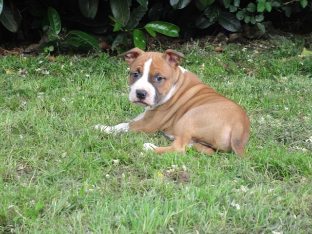OWEN - American Staffordshire Terrier