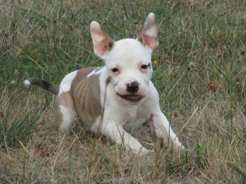 Lealta's Edition - Chiot disponible  - American Staffordshire Terrier