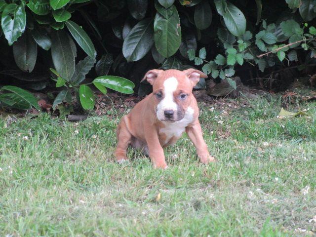 OSCAR - American Staffordshire Terrier