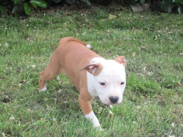 ORANE - American Staffordshire Terrier