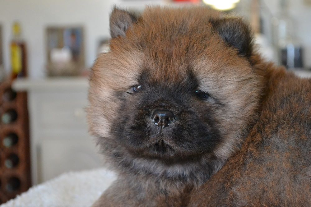 Smoothies - Chiot disponible  - Chow Chow