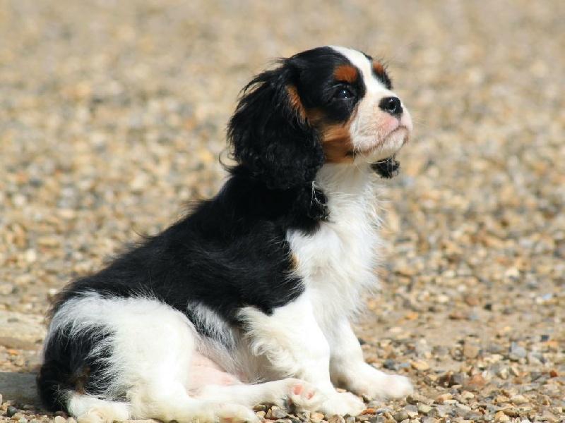 Chiot elevage du clos d 39 arlequin eleveur de chiens cavalier king charles spaniel - Chiot cavalier king charles gratuit ...