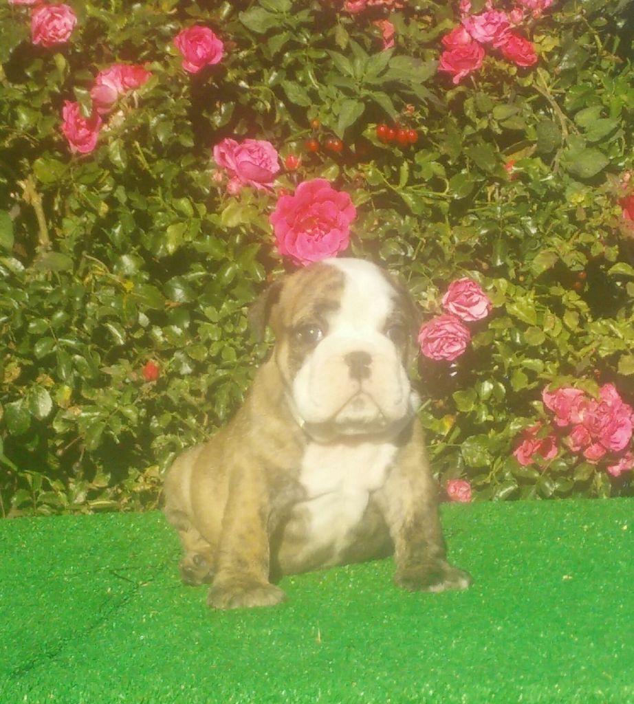 des Roxa-Lina - Chiot disponible  - Bulldog Anglais