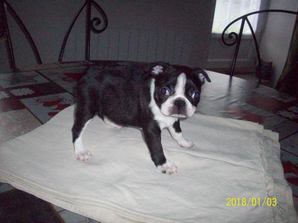 de la Fin'Amor de Larzaelle - Chiot disponible  - Boston Terrier