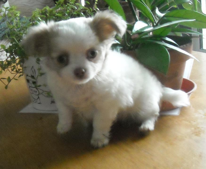 du domaine d'Isis - Chiot disponible  - Chihuahua