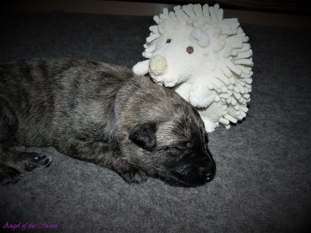 Angel of the Moon - Chiot disponible  - Berger hollandais