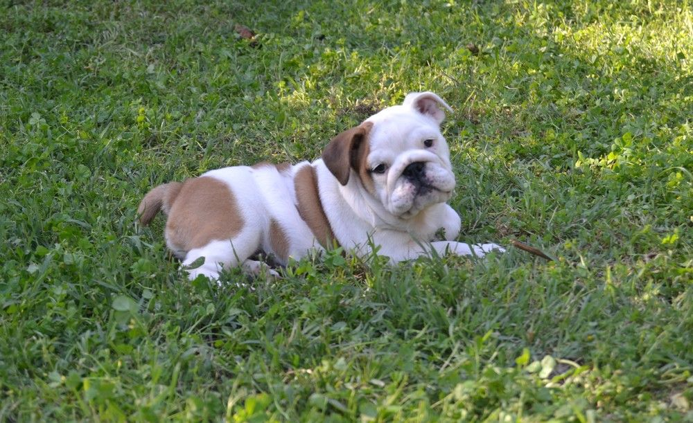 du Royaume De Maléfice - Chiot disponible  - Bulldog Anglais