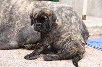 Chiots Mastiff