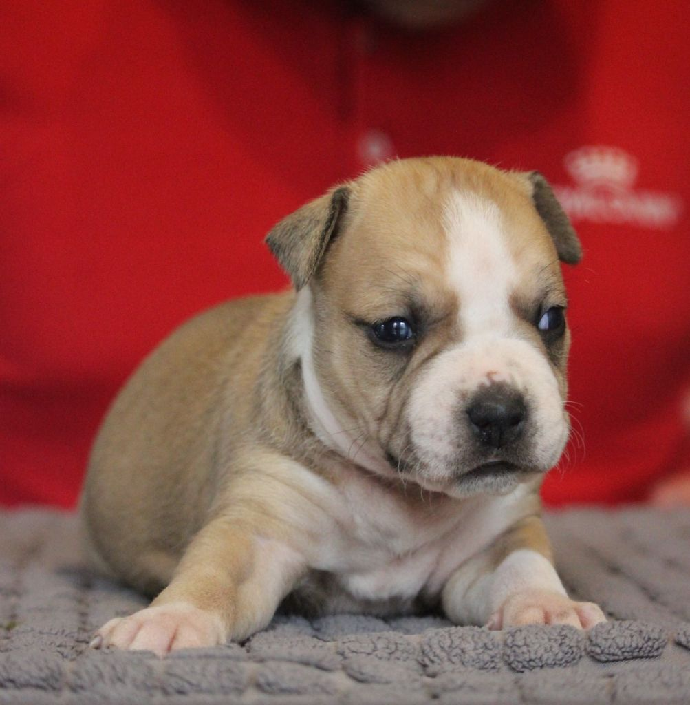 du Angels Of Paradise - Chiot disponible  - American Staffordshire Terrier