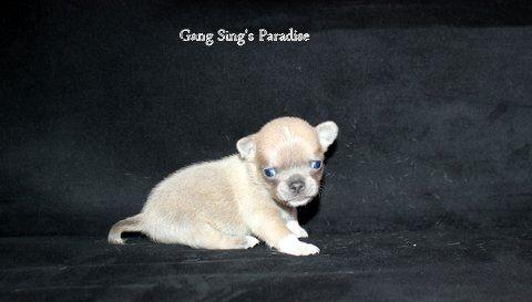 Gang Sing's Paradise - Chiot disponible  - Chihuahua