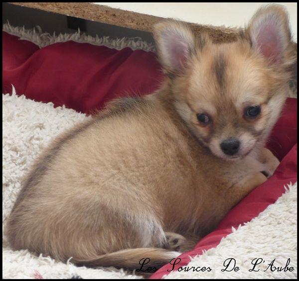 NYMBUS - Chihuahua