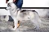 - CACIB St-Etienne (Spécial Siberian Husky)
