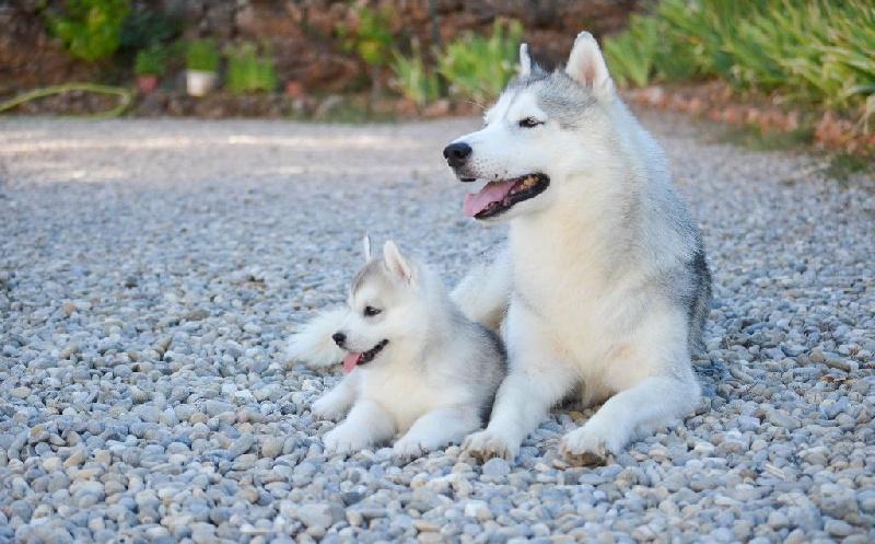 Bloodsnow - Siberian Husky - Portée née le 18/06/2016