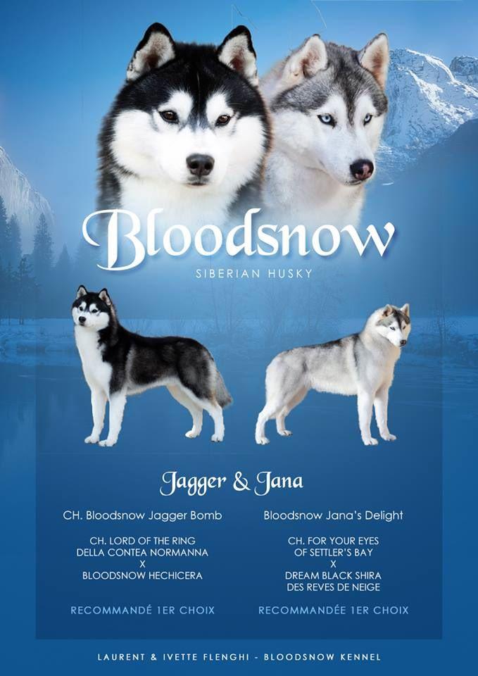 Bloodsnow - Siberian Husky - Portée née le 25/10/2018