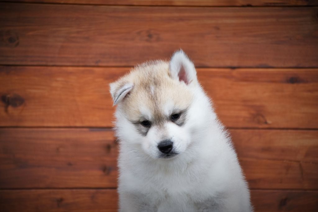 Bloodsnow - Chiot disponible  - Siberian Husky
