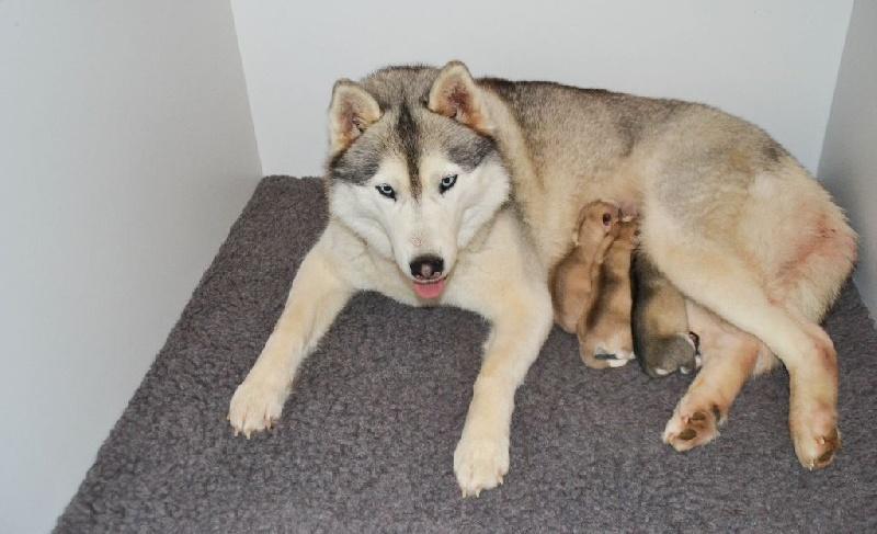 Bloodsnow - Siberian Husky - Portée née le 03/03/2016