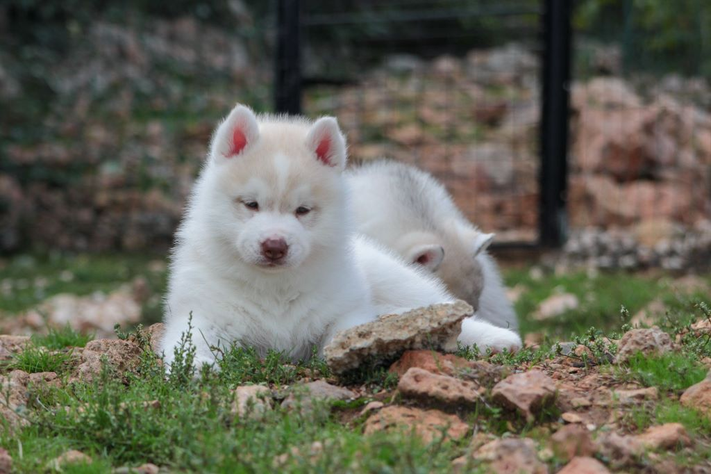 Bloodsnow - Chiot disponible  - Siberian Husky