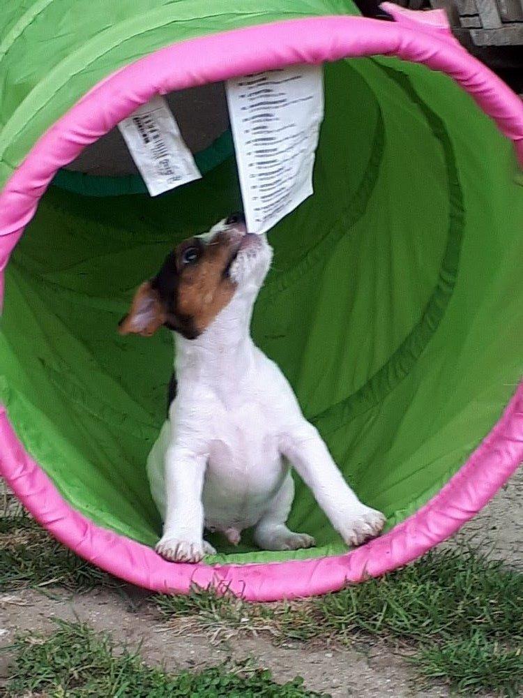 Oscar - Parson Russell Terrier