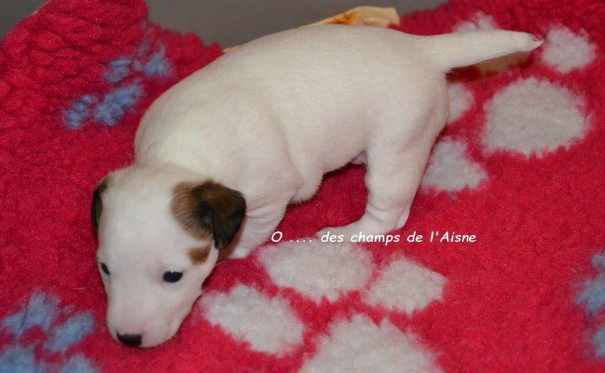 des champs de l'Aisne - Chiot disponible  - Jack Russell Terrier