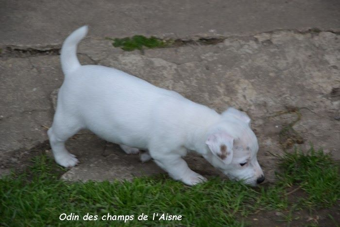 ODIN - Jack Russell Terrier