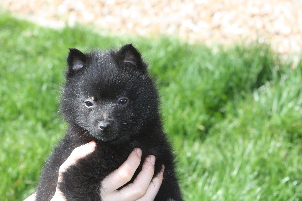 du Mas de Valaurine - Chiot disponible  - Schipperke