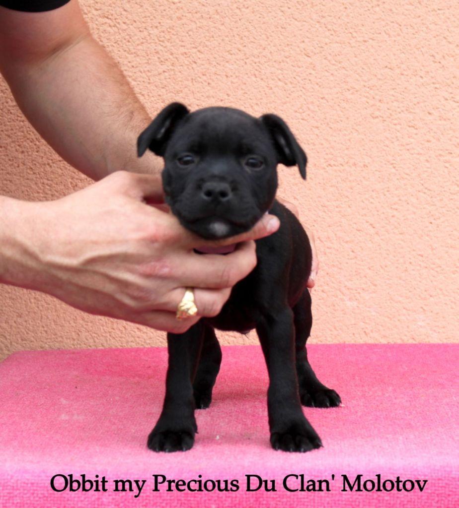 Obbit my precious - Staffordshire Bull Terrier