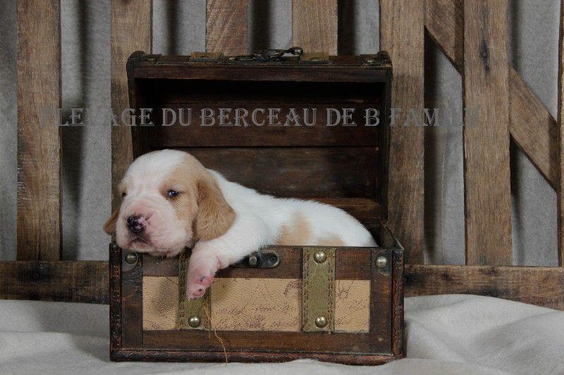 du berceau de bfamily - Chiot disponible  - Basset Hound