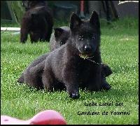 des gardiens de Yourimi - Chiot disponible  - Berger allemand