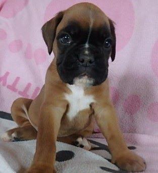 des radicals dogs - Chiot disponible  - Boxer