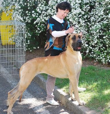 des Alans d'or du Val de Tara - exposition canine internationale Saint Brieuc
